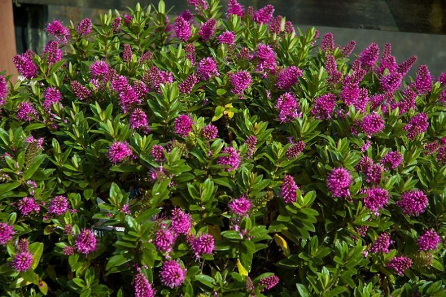 Hebe 39 sunset boulevard 39 pbr van vliet new plants for Plantas arbustos de hoja perenne
