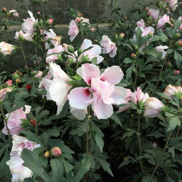 hibiscus syriacus 39 verosa 39 van vliet new plants. Black Bedroom Furniture Sets. Home Design Ideas