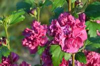 Hibiscus syriacus French Cabaret® Red (pbr) //
