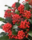 Skimmia Red Berry Bee nr2