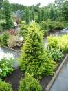 Taxus baccata //